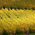 Vineyard by Anthony Woolley