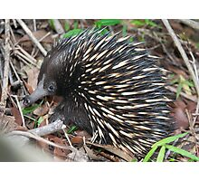 Echidna ~ A face that's seldom seen Photographic Print