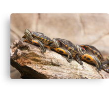 Turtles in a row Canvas Print