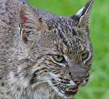 Bobcat!! by jozi1