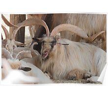 goat markhor Poster