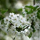 White Blossoms by Rowan  Lewgalon
