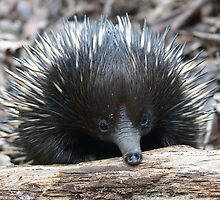 G'day mate.........I'm an Echidna by Robert Elliott