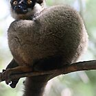 Pensive Brown Lemur, Madagascar by Jane McDougall