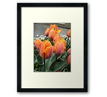 Arrived tulips Framed Print