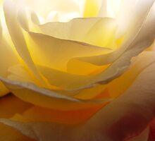 Back Lit Rose by Linda Scott