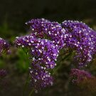 Statice (Limonium) by Elaine Teague