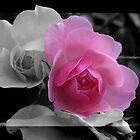 Pink Rose by imagic