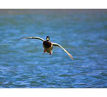 Waterfowl in Flight #6 Photographic Print