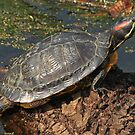 Red-Eared Terrapin by Robert Abraham