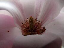 Magnolia  by Laura60