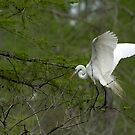 Nest building Egret by Bonnie T.  Barry