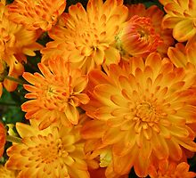 Fire Orange Chrysanthemums by MotherNature