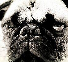 Grumpy Pug Face by Darlene Lankford Honeycutt
