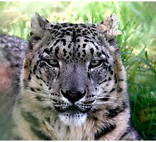 Ranshan the Snow Leopard Photographic Print