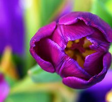 Purple Tulip by Pennywise