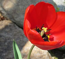 Red Tulip by KOKeefeArt