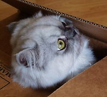 Cat in a Box by Diana Forgione
