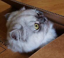 Cat in a Box by Diana Forgione