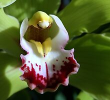 Green Cymbidium by sstarlightss
