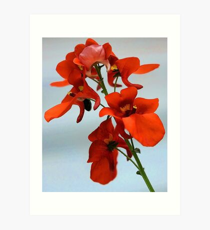 Diascia - Flirtation Orange Art Print