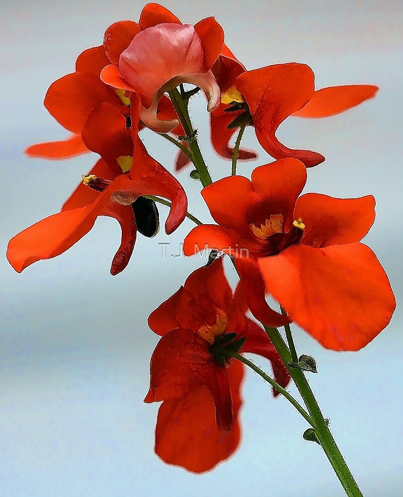 Diascia - Flirtation Orange by T.J. Martin