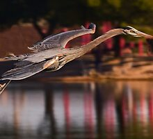 0405093 Great Blue Heron by Marvin Collins