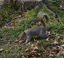 Gray Squirrel In The Woods by Malcolm Snook