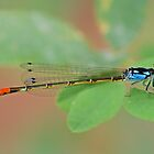Hesperagrion heterodoxum (Painted Damsel) by Jim Johnson