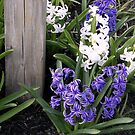 Hyacinth And Wood by Gayle Dolinger
