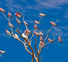 Gallahs and Corellas - Mt Dare, South Australia by Stephen Permezel