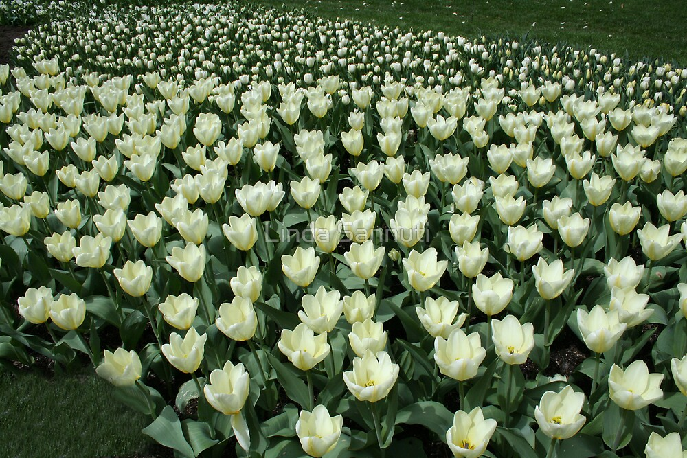 Tulip fields by Linda Sannuti