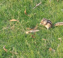 Chipmunk at grass field. by anibubble