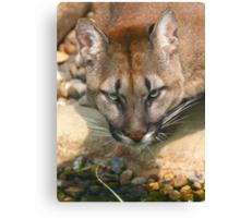 Thirsty Puma Canvas Print