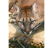 Thirsty Puma Photographic Print