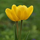 Yellow Tulips by Sandy Keeton