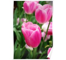 Pink Tulips In Field Poster