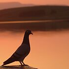 Sunset Pigeon by GregBPhotos