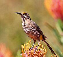Cape Sugarbird by Richard Adcock