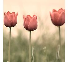 Pastel Red Tulips Photographic Print