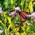 Monarch Butterfly on Purple Wildflower by Susan Savad