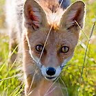 Young and curious fox by Mariann Rea