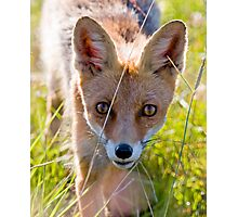Young and curious fox Photographic Print