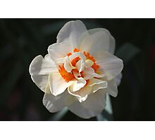 Blooming Double Daffodil  Photographic Print