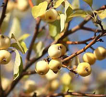 yellow apples  on the tree by mrivserg