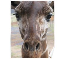 Loving Young Giraffe Poster