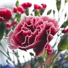 Carnation with Fractalius by Jo Newman