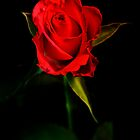 Red Rose by drbeaven