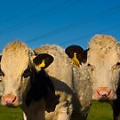 Cows by drbeaven