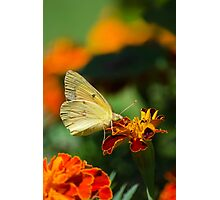 Clouded Sulphur Butterfly Photographic Print